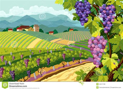 Vineyard And Grapes Bunches Stock Vector - Image: 34571782
