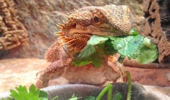 The Ultimate Bearded Dragon Care Guide for Beginners