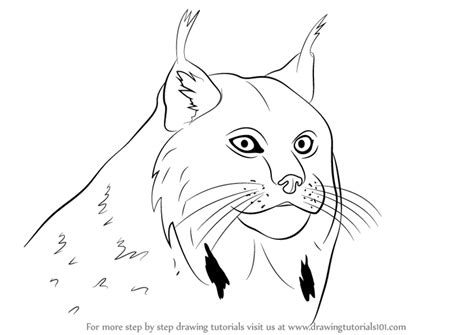 Learn How to Draw a Canada Lynx Face (Wild Animals) Step