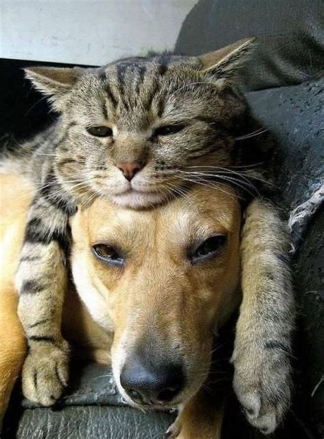 21+ Cats Who Use Dogs As Pillows   Bored Panda