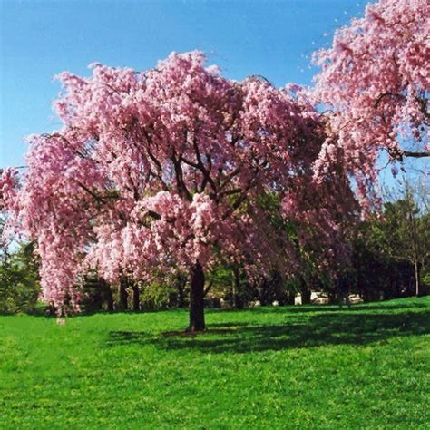 Pink Weeping Cherry For Sale Online | The Tree Center