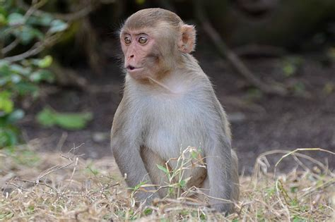 India: Pizza-eating monkey set to inherit a fortune from