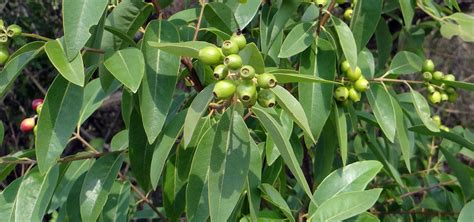 Red Sandalwood Benefits - Learn Why This Plant is Revered